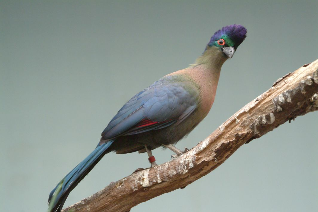 african animal purple crested turaco birds