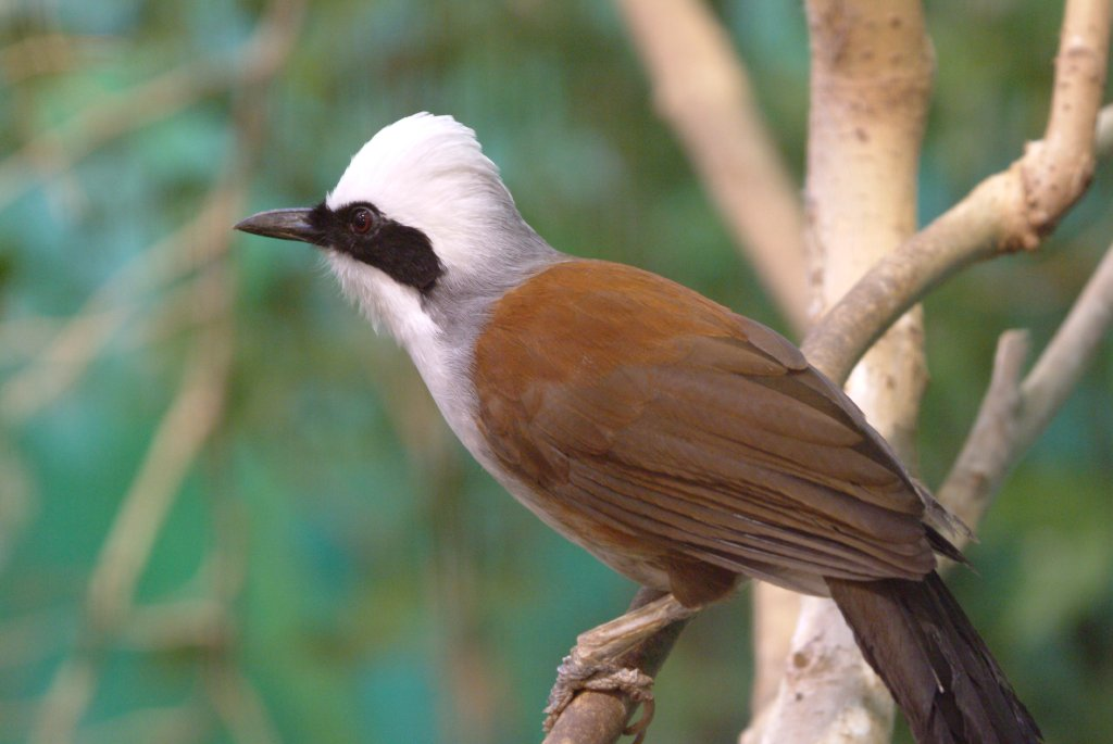 wallpapers of beautiful laughing thrush bird